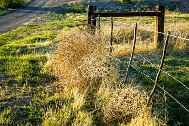 tumbleweeds-against-fence